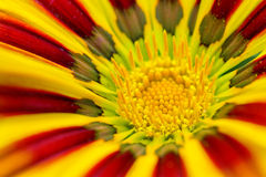 Yellow Gazania flower extreme close up Royalty Free Stock Photography