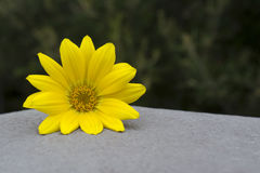 Yellow Gazania Flower Head. Plain yellow gazania flower head sitting on a cement base with natural green foliage at it's back.Very shallow depth and focus on royalty free stock photo