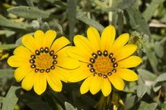 Yellow gazania flowers in full bloom Stock Photography