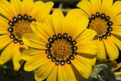 Yellow gazania flowers in full bloom Stock Photo