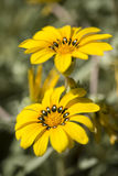 Yellow gazania flowers in full bloom Royalty Free Stock Photography
