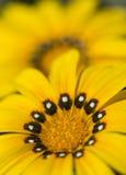 Yellow gazania flowers in full bloom Stock Image