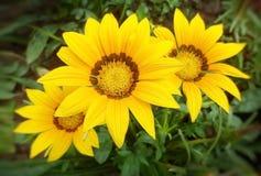 Yellow gazania flowers. Three yellow gazania flower's heads close-up macro Royalty Free Stock Photos