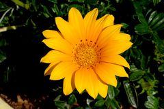 Yellow Gazania Stock Photography