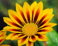 Yellow gazania Stock Images