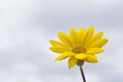 Yellow Gazania. Single yellow gazania with natural cloud filled sky as the background providing natural isolation of the flower head stock photography