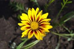 Yellow gazania Stock Images