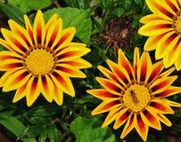 Yellow gazanias Stock Images