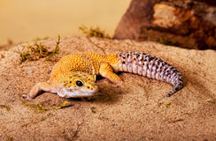 Yellow gecko Stock Photography