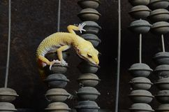Yellow gecko on counts. Yellow gecko on the scores. Inspect old device royalty free stock images