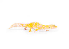 Yellow Gecko. Image of a yellow lizard on a white background royalty free stock photography