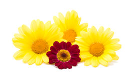 Yellow gentle colors daisies Royalty Free Stock Image