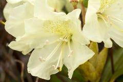 Yellow gentle rhododendron. Kamchatka Peninsula, Russia. Close up image stock image