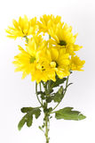 Yellow geranium flowers with stems Royalty Free Stock Images