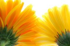 Yellow gerber Stock Photography