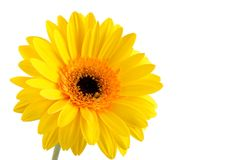 Yellow gerber. Yellow beautiful flower for decoration Royalty Free Stock Photos