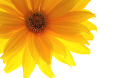 Yellow gerber Stock Image