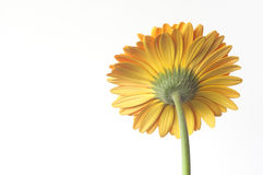 Yellow Gerber. Lonely yellow gerbera on a white background stock photos