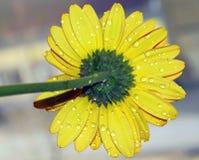 Yellow gerber Stock Images