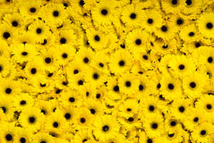 Yellow Gerber daisies. Isolated bright yellow Gerber Daisies Stock Photo