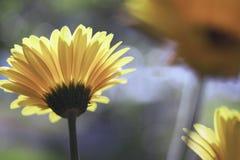 Yellow Gerber daisies in the sun. Macro view of three yellow Gerber daisies in the sun stock images