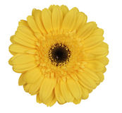 Yellow gerber daisy. On white background Stock Photography