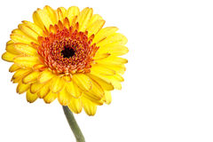 Yellow gerber daisy. Perfect yellow gerber daisy, completely isolated on white background royalty free stock photo