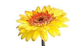 Yellow gerber daisy Royalty Free Stock Images