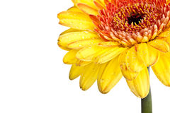 Yellow Gerber Daisy Stock Photography