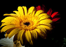 Yellow Gerber Daisy. Water droplets on a vibrant yellow Gerber daisy Stock Photos