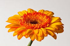 Yellow Gerber Daisy Royalty Free Stock Photography