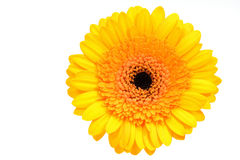 Yellow gerber daisy. Isolated on white stock photography