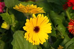 Yellow Gerber Daisy. Gerber Daisy with green foliage Stock Photography