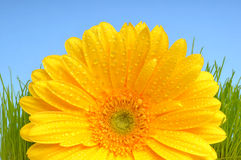 Yellow Gerber daisy Royalty Free Stock Photos