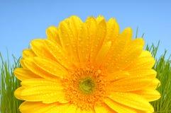 Yellow Gerber daisy Royalty Free Stock Photos