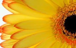 Yellow Gerber Daisy. Macro of yellow gerbera Royalty Free Stock Photo