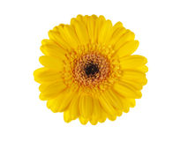 Yellow gerber daisy blossom isolated on white Stock Photography