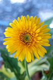 Yellow Gerber Daisy Stock Photo
