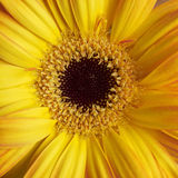 Yellow Gerber daisy closeup Royalty Free Stock Photography