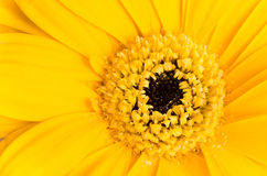 Yellow gerber daisy macro Royalty Free Stock Images
