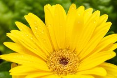 Yellow Gerber daisy macro with water droplets on the petals. Gerbera close up. Flower background. Yellow Gerbera daisy macro with water droplets on the petals royalty free stock images