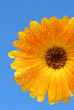 Yellow gerber daisy over blue. Macro of a yellow gerber flower with water droplets on blue. relatively shallow depth of field with focus on outer petals royalty free stock image