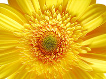 Yellow Gerber Flower. Close-up background stock images