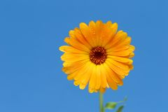 Yellow Gerber Flower Against Blue Royalty Free Stock Photo