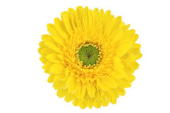 Yellow Gerber flower. Yellow gerbera flower, Isolated on white background Royalty Free Stock Images