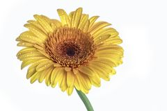 Yellow gerbera daisy flower isolated on white Stock Photos