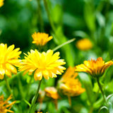 Yellow Gerber Flowers Royalty Free Stock Images