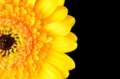 Yellow Gerber Marigold Flower Part Isolated on Black Stock Photography