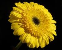 Yellow gerber Royalty Free Stock Image
