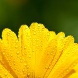 Yellow gerber petals Stock Image